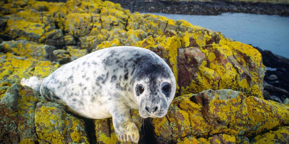 grey seal in North Uist
