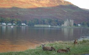 Autumnal deer in Lochranza (3)