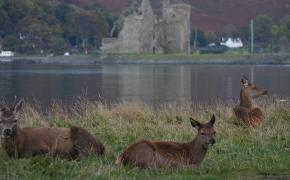 Deer by Lochranza Castle