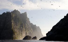 Northern gannets seen on the steep cliffs of St Kilda