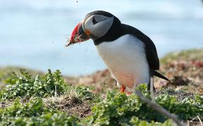 nesting puffin on the treshnish and staff tour