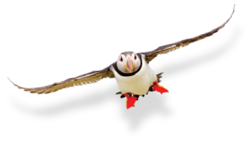 Decorative image of a Puffin in flight