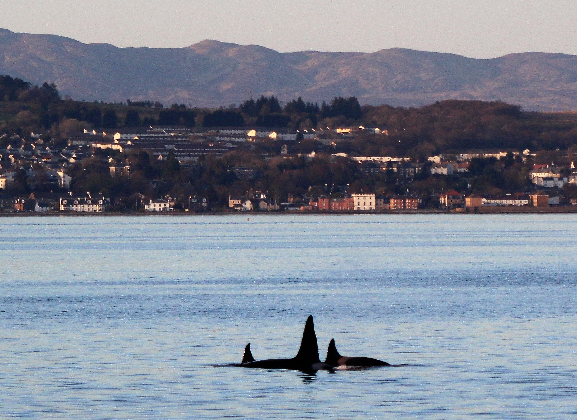 Orca in the bay